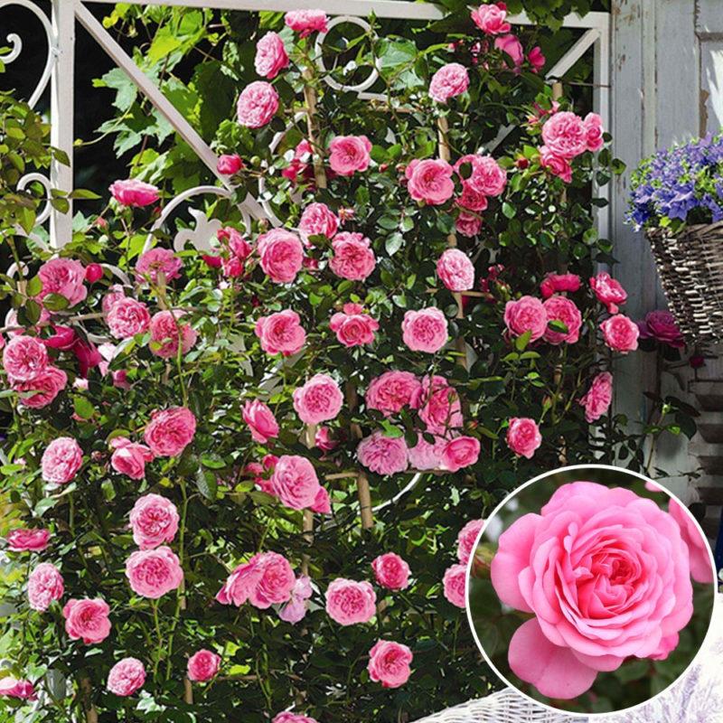 10 Most Popular A Rose Pic FULL HD 1920×1080 For PC Desktop 2018 free download starlet miniclimber rose eva online kaufen bei ahrenssieberz 800x800