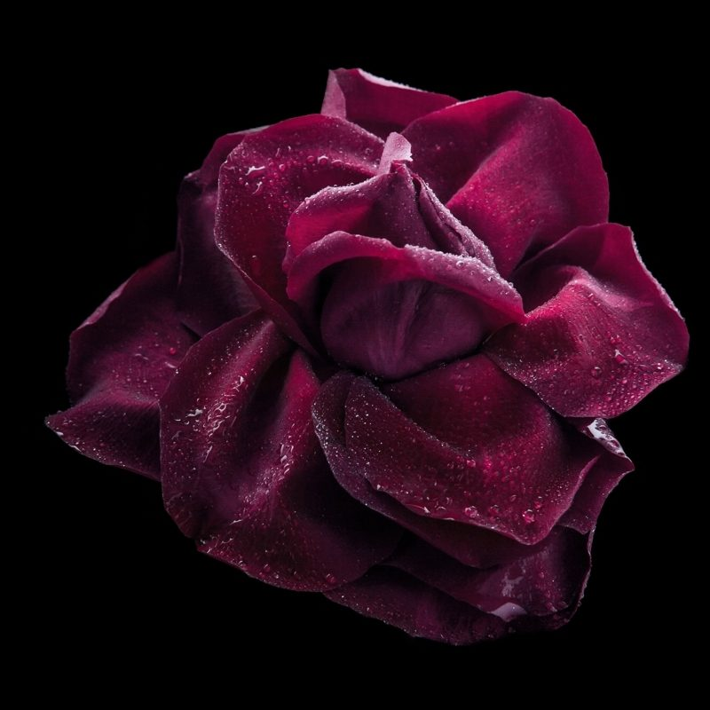 10 Latest Photos Of Purple Roses FULL HD 1920×1080 For PC Background 2018 free download the meaning of dark purple roses thatll make you love them more 800x800