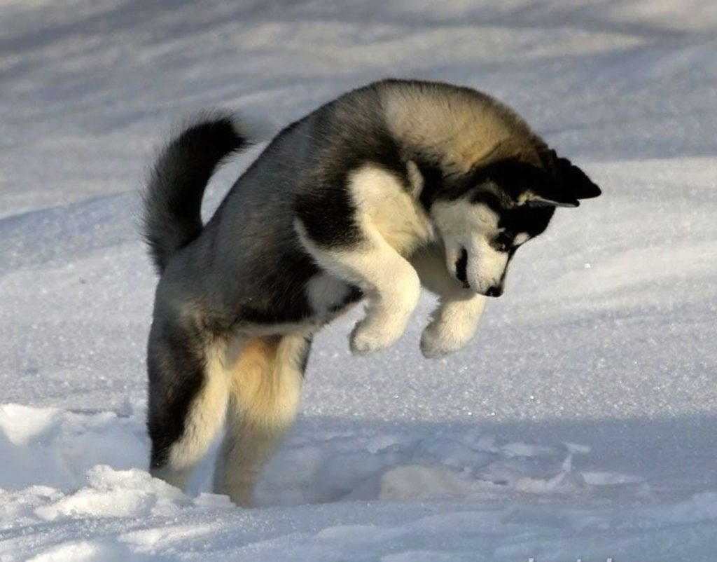 10 Top Images Of Baby Huskies FULL HD 1080p For PC Desktop 2020 free download the siberian husky dog breeds pinterest siberian huskies 1024x802