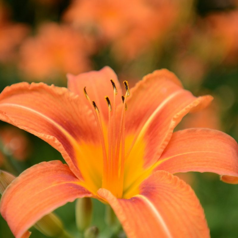 10 Best Images Of Tiger Lily FULL HD 1920×1080 For PC Background 2020 free download the tiger lily a problem solver as our official flower syracuse 800x800
