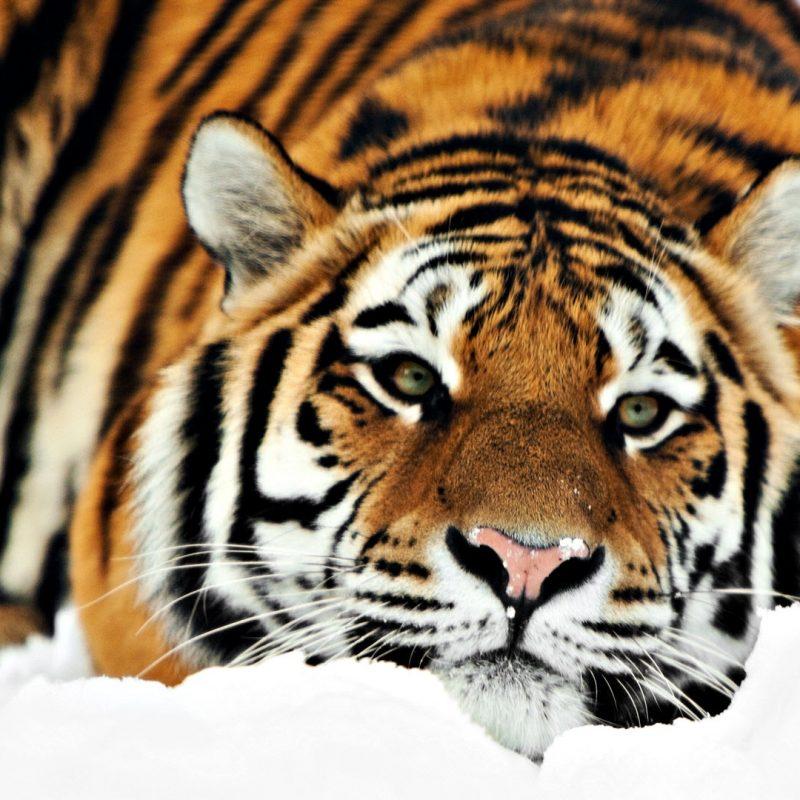 10 Most Popular Siberian Tiger Wallpaper Hd 1080P FULL HD 1920×1080 For PC Desktop 2018 free download tiger hd 1080p wallpapers hd wallpapers id 8701 800x800