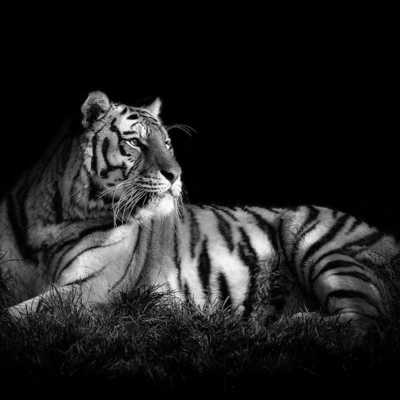 10 Most Popular Black And White Animal Wallpaper FULL HD 1080p For PC Desktop 2018 free download tiger in black white pc wallpaper black and white tiger hd in 1 800x800