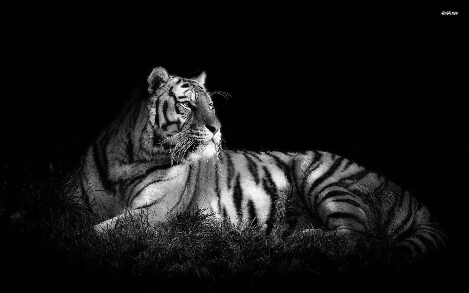 tiger in black & white   pc wallpaper black-and-white-tiger hd in