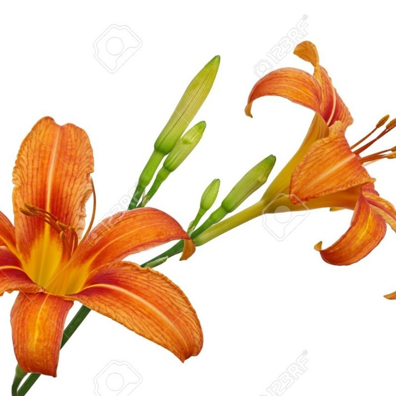 10 Best Images Of Tiger Lily FULL HD 1920×1080 For PC Background 2020 free download tiger lily stock photos royalty free tiger lily images 800x800