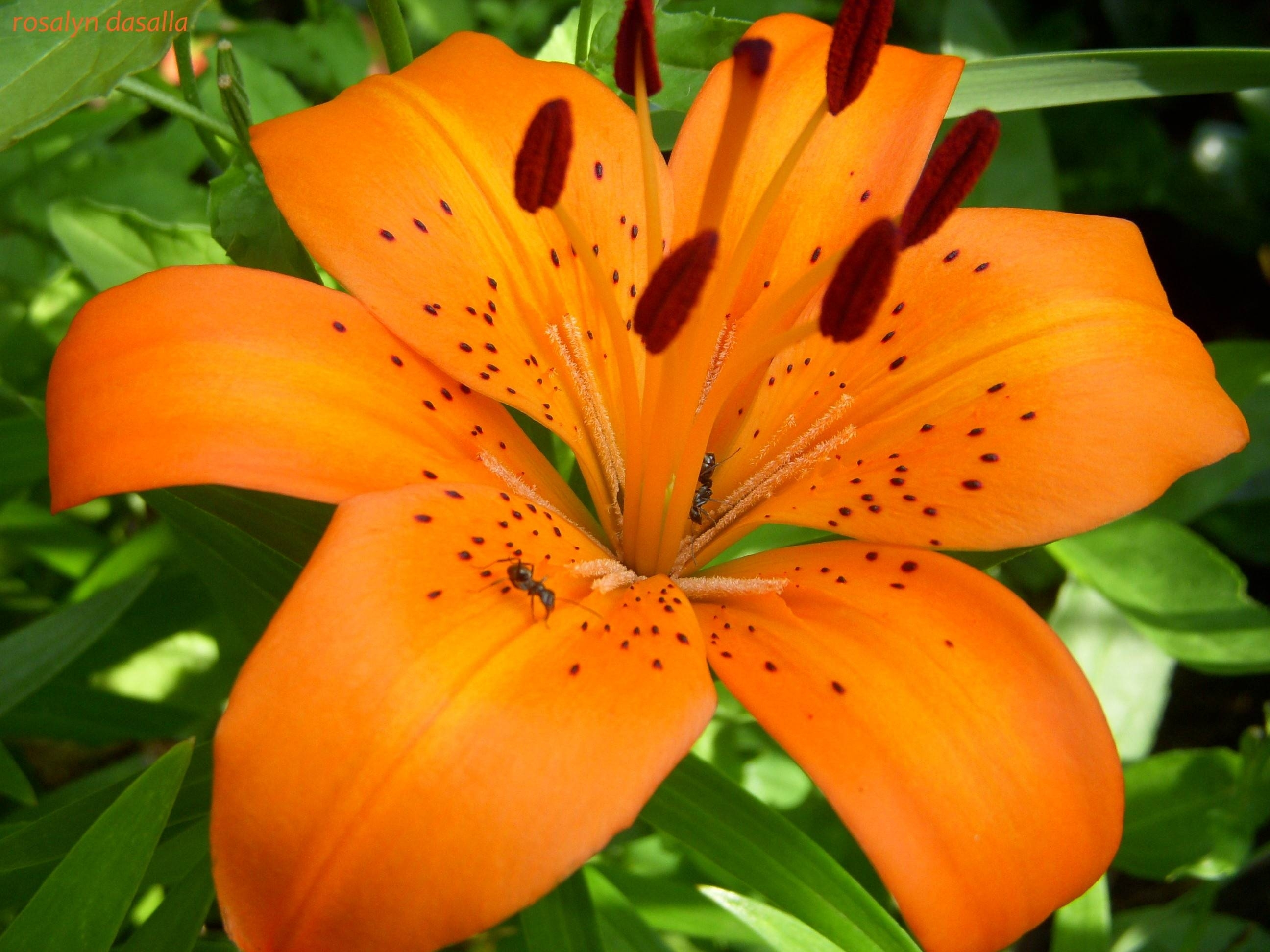 10 Top Pictures Of Tiger Lilies FULL HD 1080p For PC Desktop