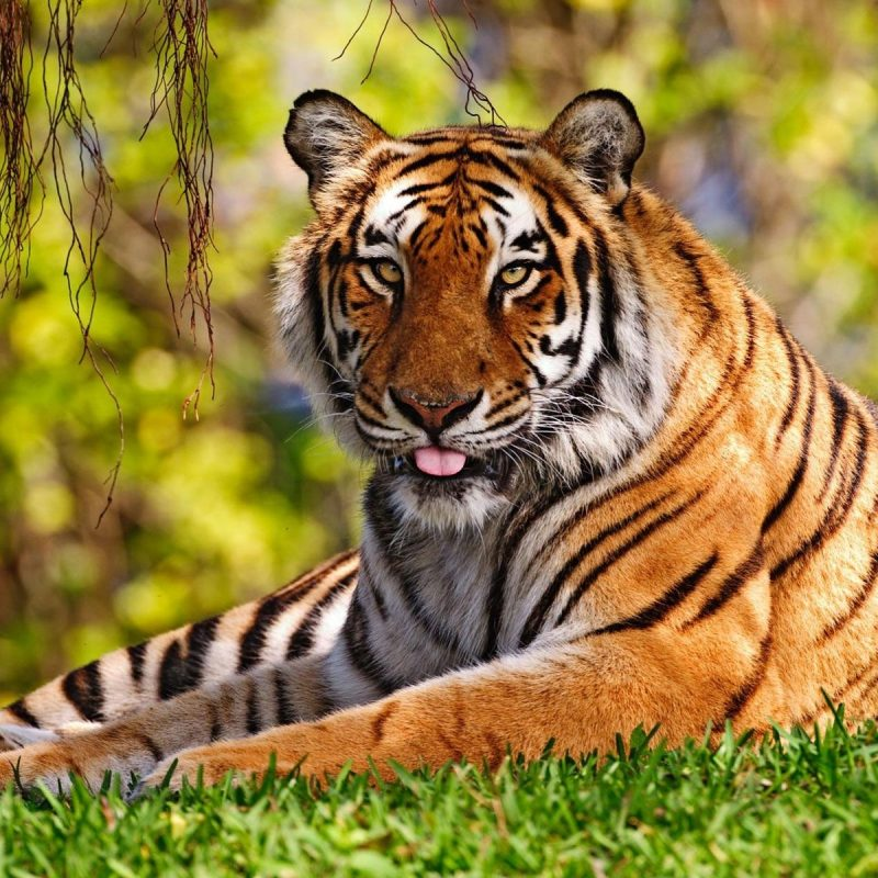 10 New Tiger Wallpaper Hd For Desktop FULL HD 1920×1080 For PC Desktop 2020 free download tiger wallpapers hd desktop backgrounds 800x800