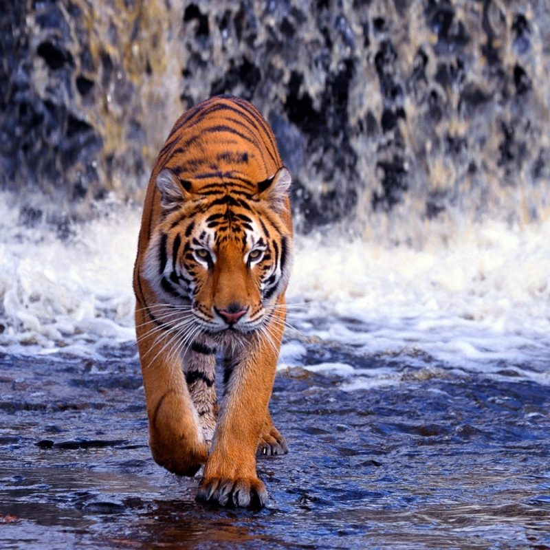 10 New Tiger Wallpaper Hd For Desktop FULL HD 1920×1080 For PC Desktop 2018 free download tiger wallpapers hd download group 89 800x800