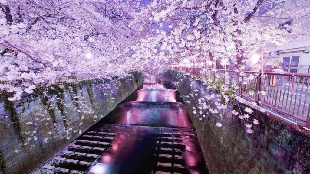 10 Best Cherry Blossom Japan Wallpaper FULL HD 1920×1080 For PC Desktop 2018 free download tokyo cherry blossom walldevil 1024x576