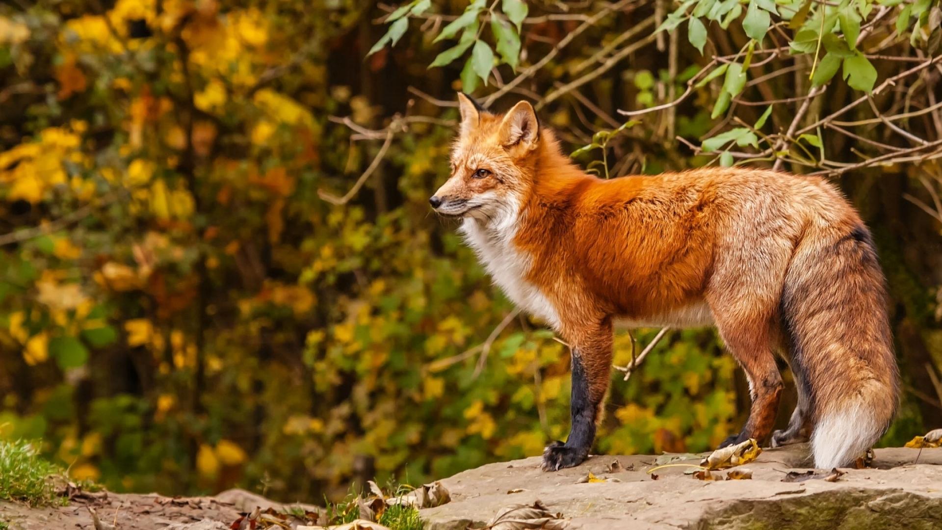 top 59 red fox wallpaper - hd animal spot