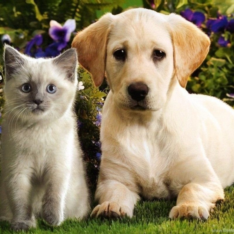 10 Top Puppies And Kittens Wallpaper FULL HD 1080p For PC Desktop 2021 free download top cute puppies and kittens wallpaper images for pinterest desktop 1 800x800