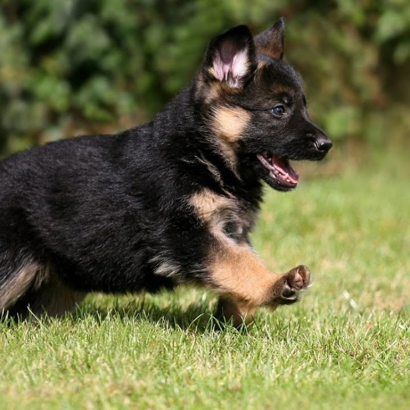 10 Latest Cool German Shepherd Pictures FULL HD 1080p For PC Background 2018 free download top quality german shepherd female puppy available for sale youtube 800x800