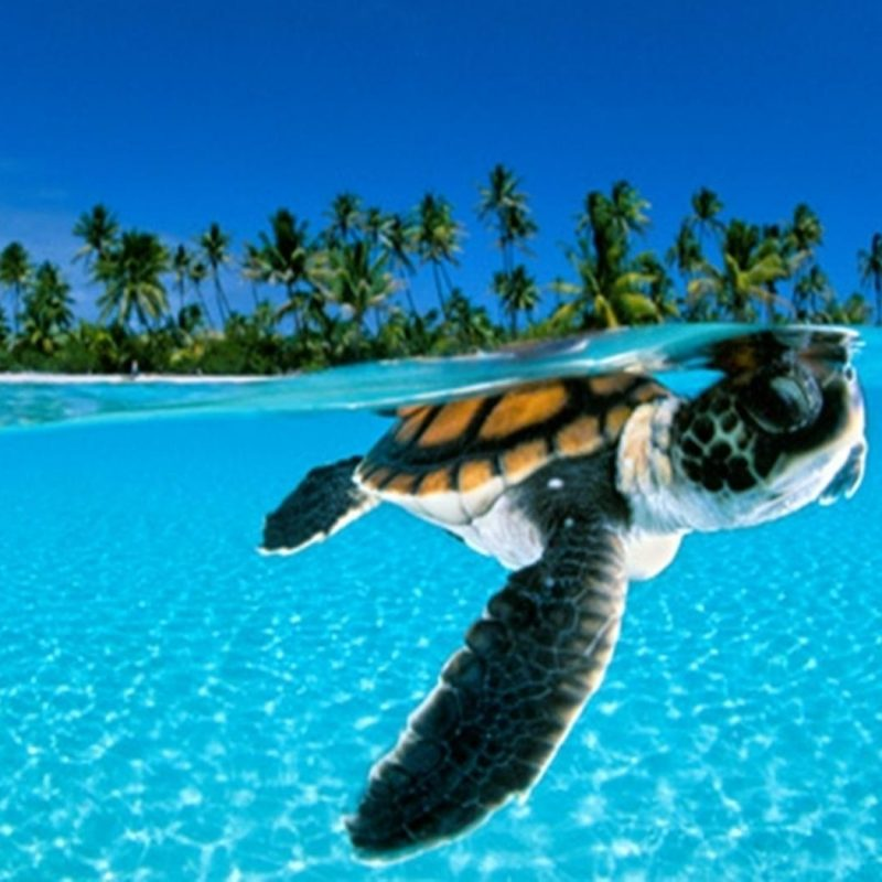 10 Top Sea Turtle Hd Wallpaper FULL HD 1920×1080 For PC Desktop 2020 free download turtles images turtle hd wallpaper and background photos 31450303 800x800