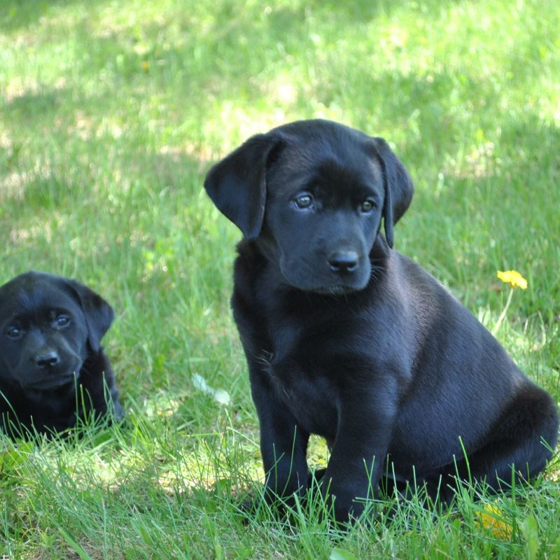 10 Best Pics Of Black Lab Puppies FULL HD 1080p For PC Background 2021 free download two black labrador retrievers law of attraction pinterest 800x800