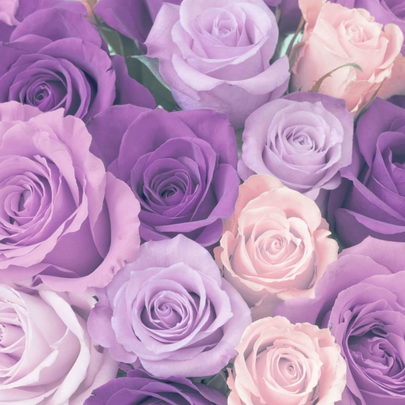 10 Latest Photos Of Purple Roses FULL HD 1920×1080 For PC Background 2018 free download ultimate purple rose meaning guide goldflorist 800x800