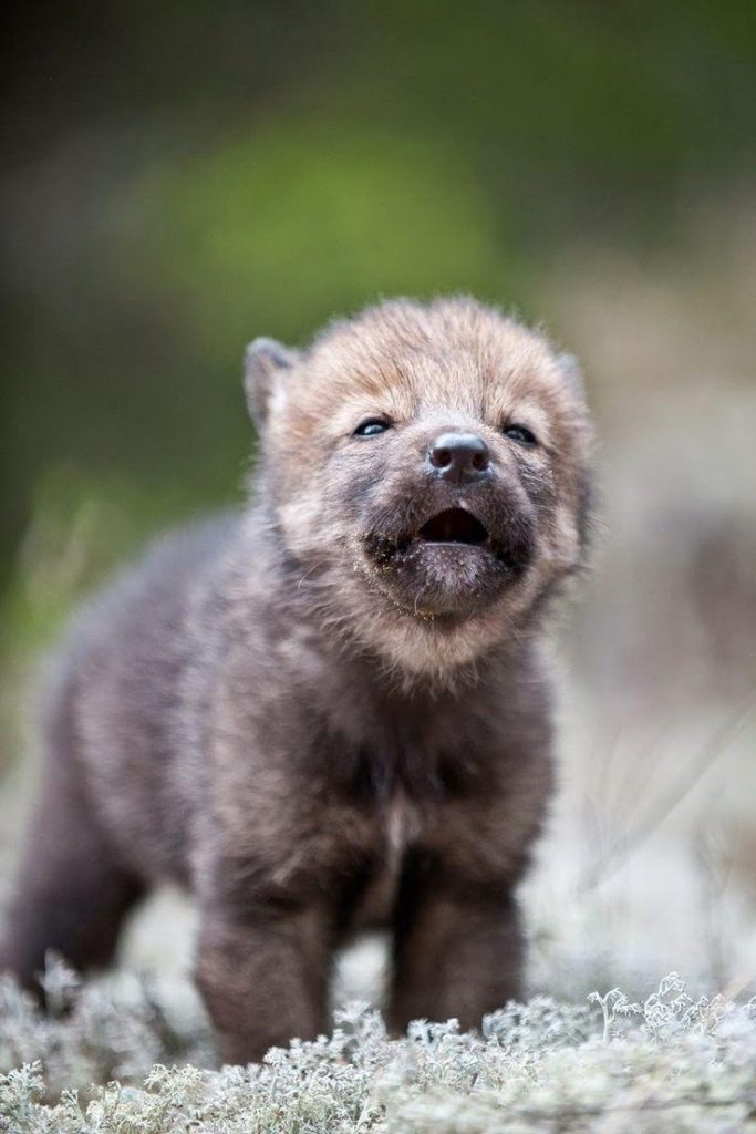 10 Most Popular Images Of Baby Wolves FULL HD 1920×1080 For PC Background 2018 free download unique wolf puppies baby wolves drawing vector graphic images 683x1024