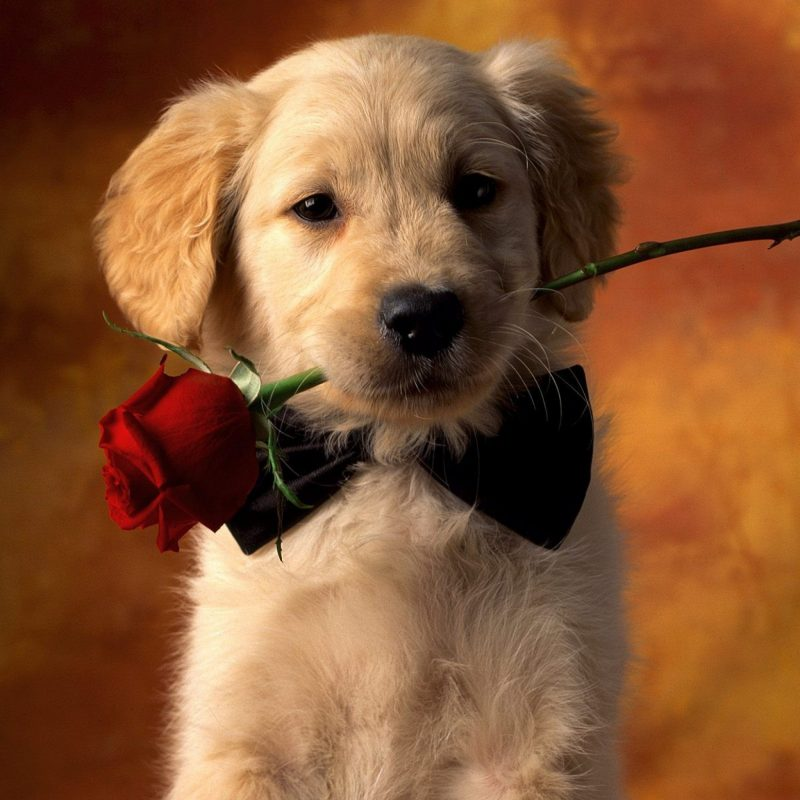 10 Top Cute Dogs For Wallpaper FULL HD 1080p For PC Desktop 2018 free download valentine dog with red rose full hd wallpaper and background image 800x800