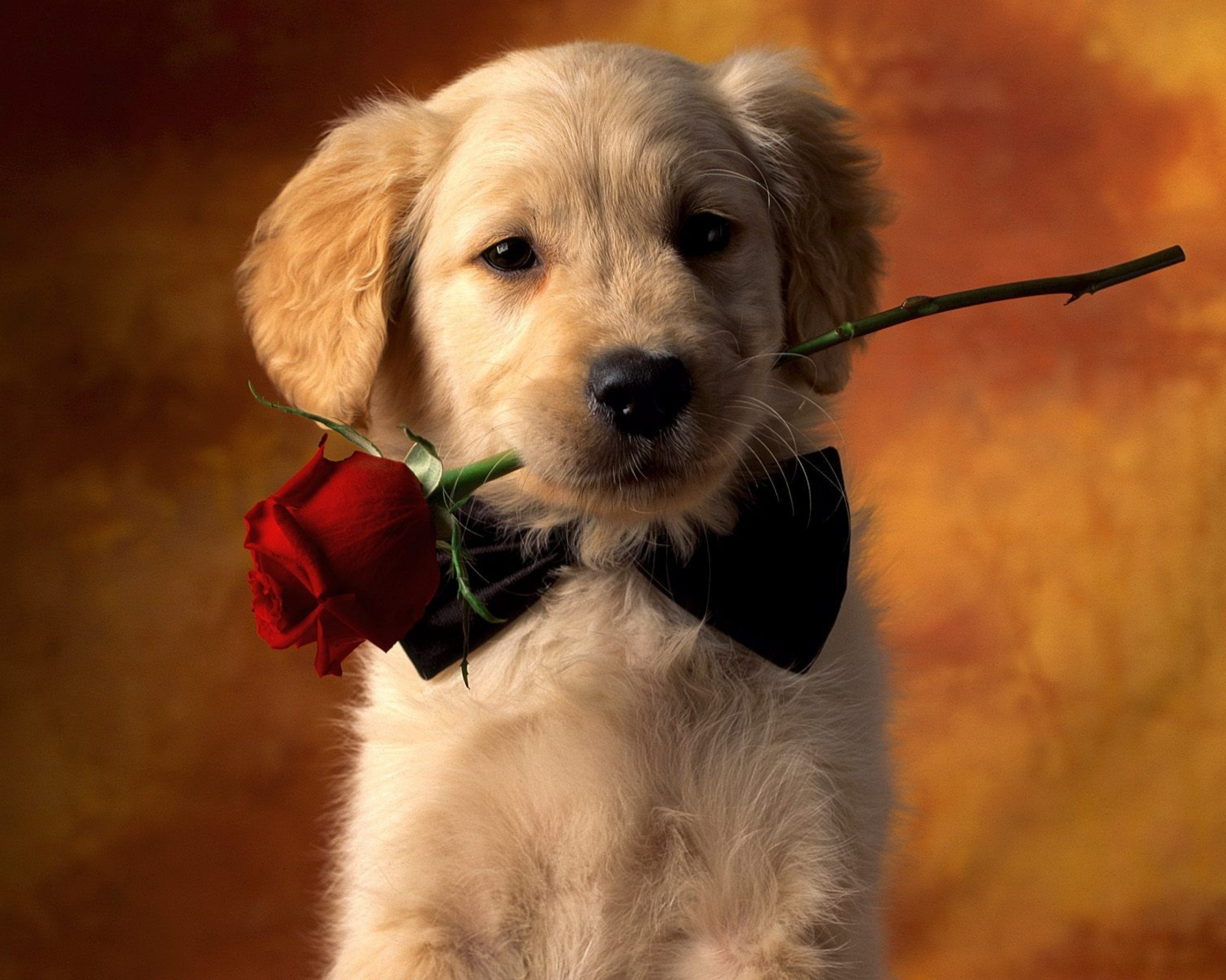 valentine dog with red rose full hd wallpaper and background image