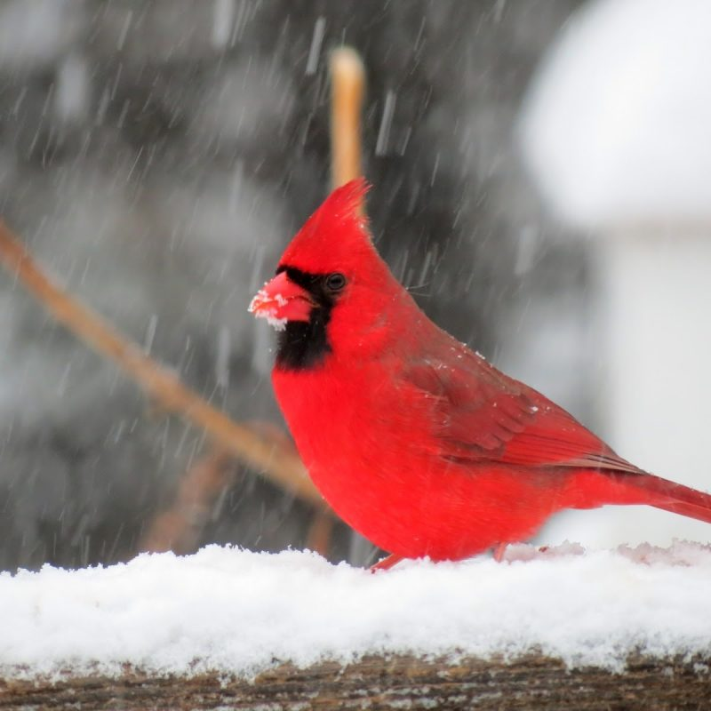 10 Best Cardinal Bird In Snow FULL HD 1080p For PC Background 2018 free download viewing nature with eileen snow birds 800x800