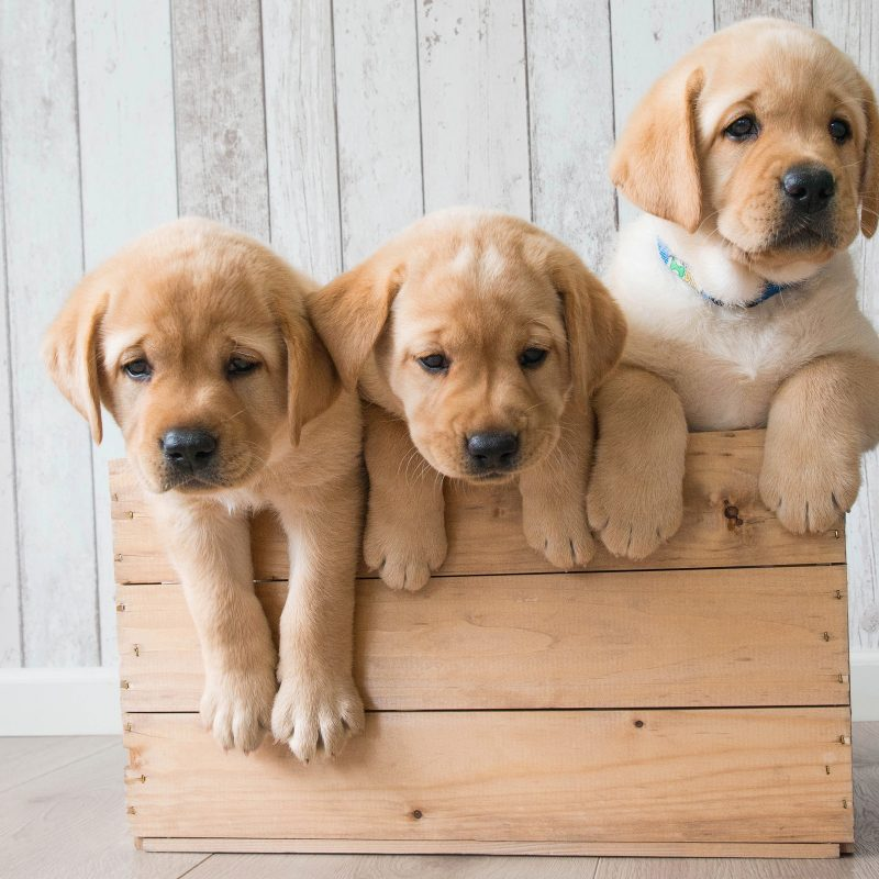 10 Most Popular Golden Retriever Puppy Wallpaper FULL HD 1920×1080 For PC Background 2018 free download wallpaper cute puppies golden retriever hd 4k animals 4167 1 800x800