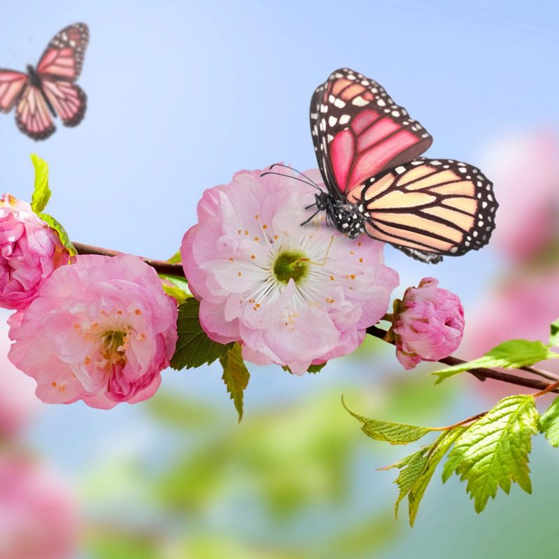 10 Most Popular Flowers And Butterflies Wallpaper FULL HD 1920×1080 For PC Background 2020 free download wallpaper download 3840x2160 pink butterfly on the blossom trees 800x800