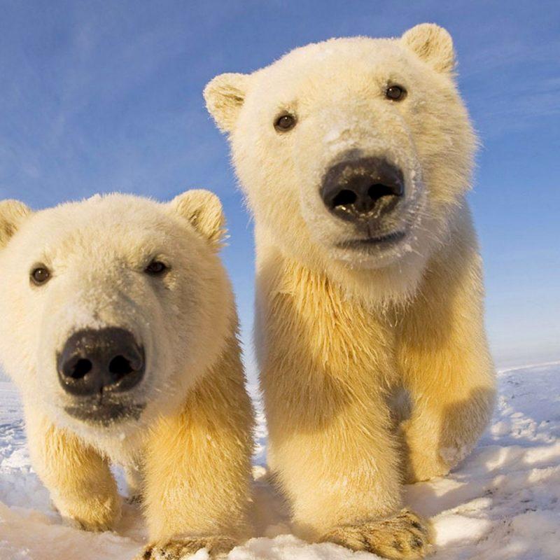 10 Best Polar Bear Desktop Wallpaper FULL HD 1920×1080 For PC Background 2018 free download wallpaper polar bear bear snow winter desktop wallpaper animals 800x800