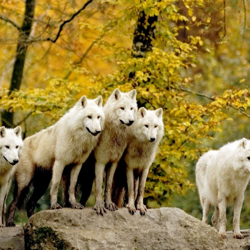 10 Top Wolf Pack Wallpaper 1920X1080 FULL HD 1080p For PC Background 2018 free download wallpaper wolf wallpaper hd pack 800x800