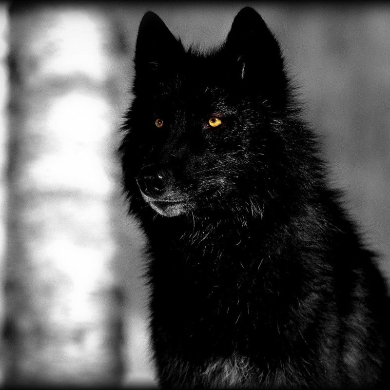 10 New Black Wolf With Red Eyes Wallpaper FULL HD 1080p For PC Desktop 2018 free download wallpapers collection black wolf wallpapers 2 800x800