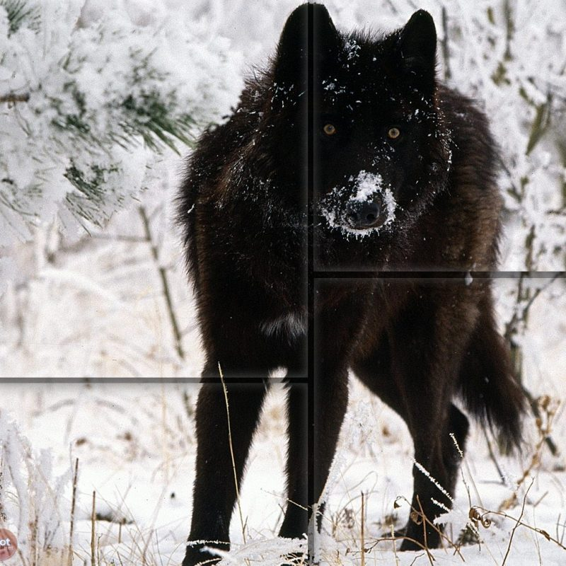10 Latest Black Wolf Desktop Background FULL HD 1080p For PC Desktop 2018 free download wallpapers collection black wolf wallpapers 3 800x800