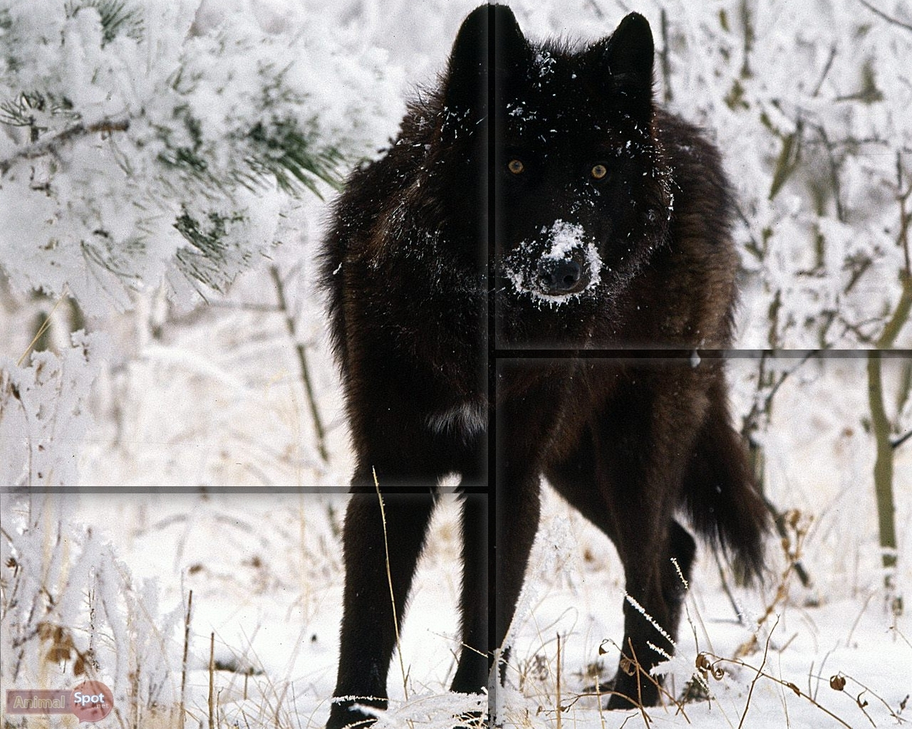 wallpaper's collection: «black wolf wallpapers»