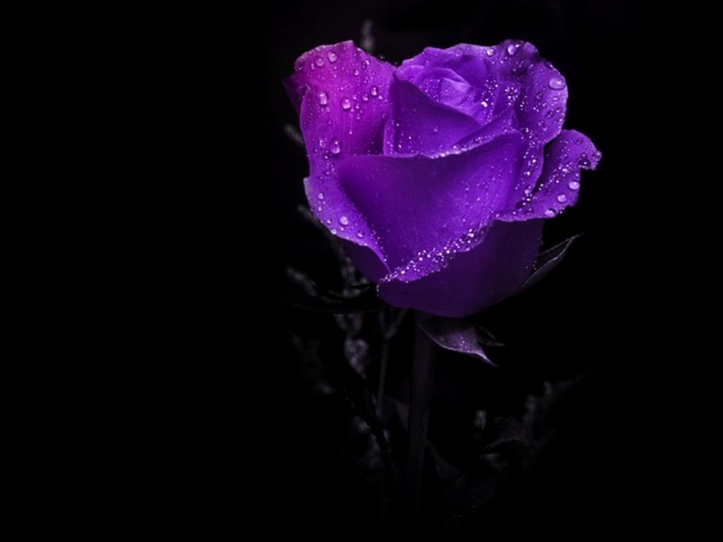 wet purple rose. [desktop wallpaper 1024x768] | plants desktop wp's