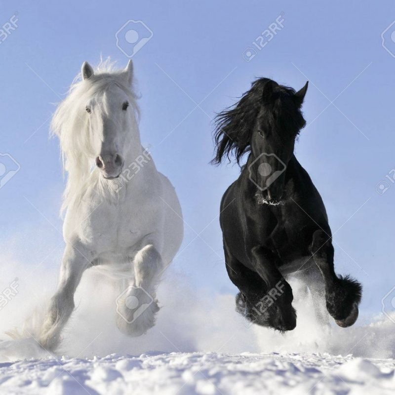 10 Latest Images Of Black Horses FULL HD 1080p For PC Background 2018 free download white and black horses stock photo picture and royalty free image 800x800