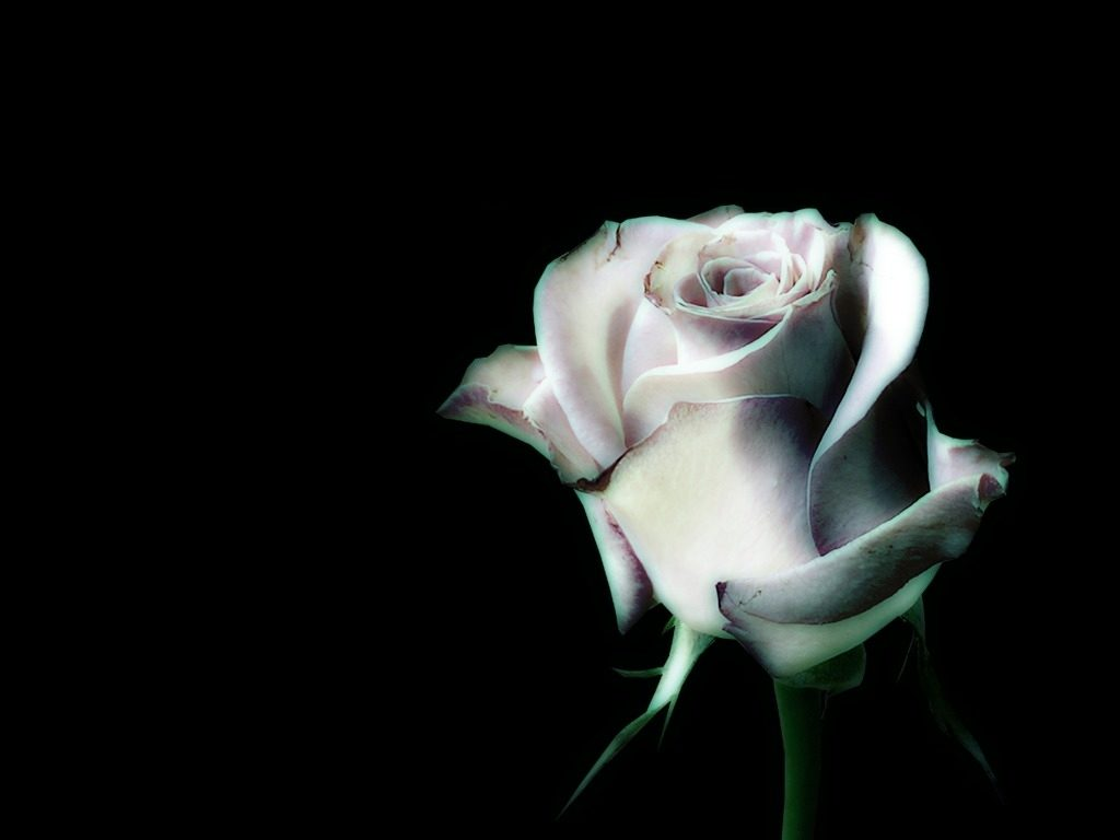 10 Most Popular Black And White Rose Wallpaper FULL HD 1920×1080 For PC Background 2018 free download white rose desktop black background best image background 1024x768
