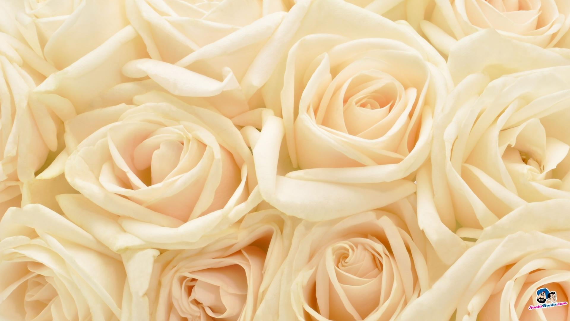 10 New White Roses Background Tumblr FULL HD 1080p For PC Desktop