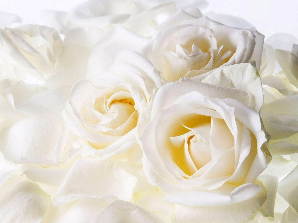 10 New White Roses Background Tumblr FULL HD 1080p For PC Desktop 2020 free download white roses backgrounds wallpaper cave 1024x768