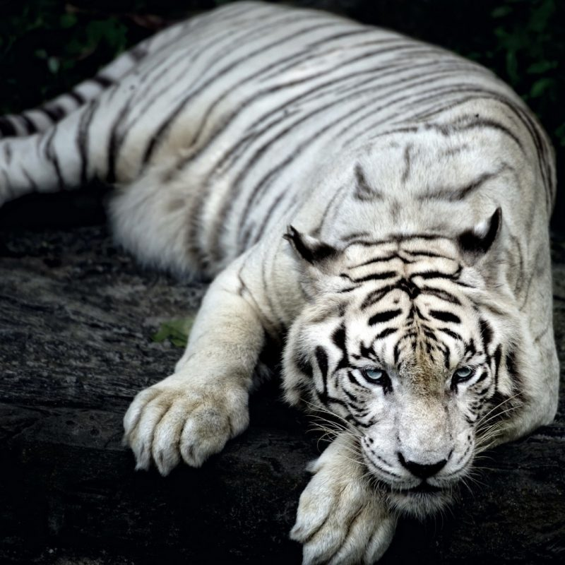 10 Latest White Tiger Hd Wallpapers 1080P FULL HD 1080p For PC Desktop 2018 free download white tiger animal e29da4 4k hd desktop wallpaper for 4k ultra hd tv 800x800