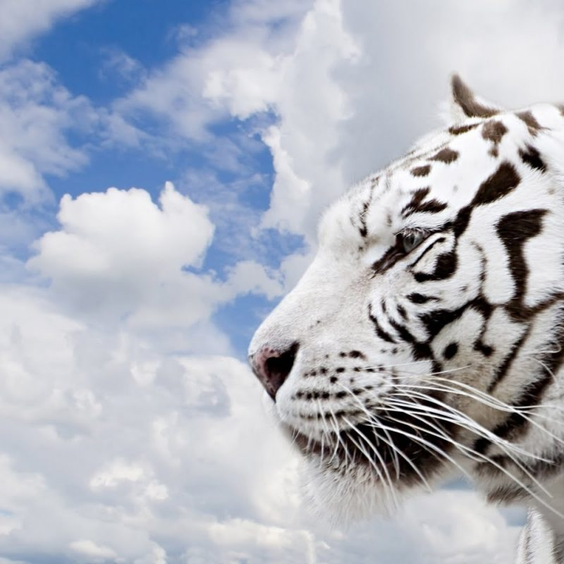 10 Latest White Tiger Hd Wallpapers 1080P FULL HD 1080p For PC Desktop 2018 free download white tiger animals 1080p wallpaper wallpaperlepi 800x800