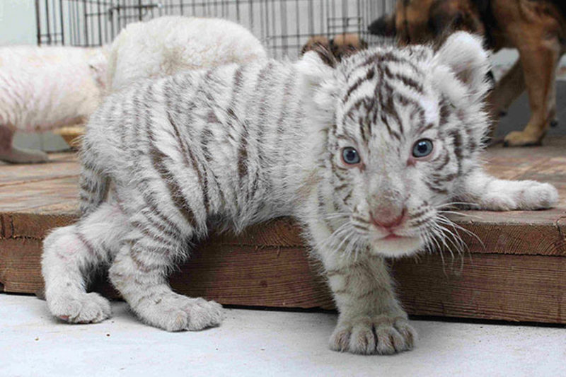 10 Top Baby White Tigers Pictures FULL HD 1080p For PC Desktop 2020 free download white tiger baby 800x533