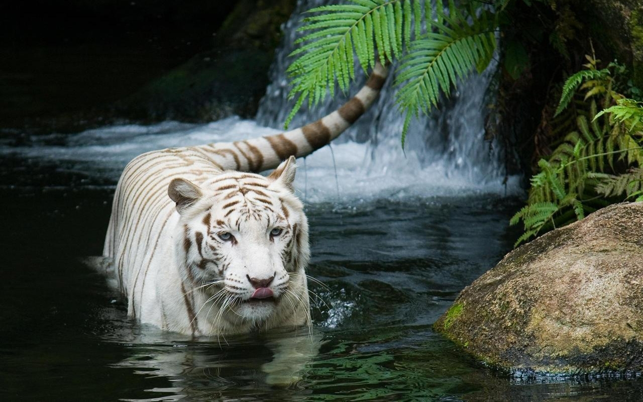 white tiger beautiful wallpapers | hd wallpapers | id #5042