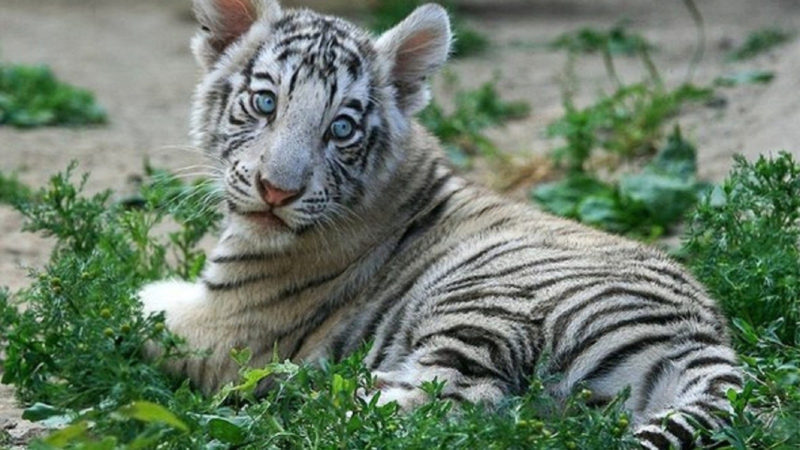 10 Top Baby White Tigers Pictures FULL HD 1080p For PC Desktop 2020 free download white tiger cubs wallpapers images photos pictures backgrounds 1 800x450