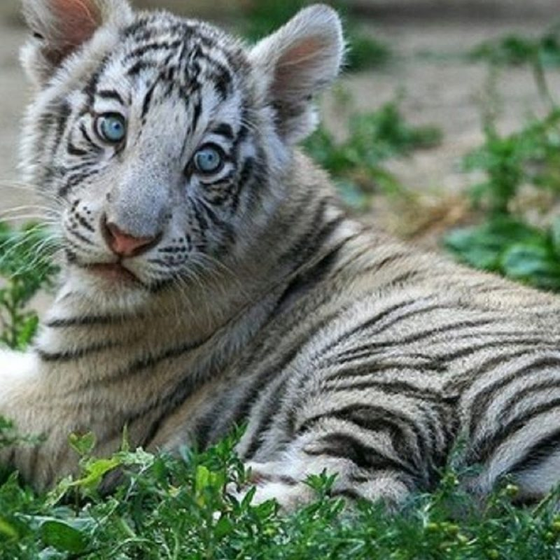 10 Latest Pictures Of Baby White Tigers FULL HD 1080p For PC Background 2018 free download white tiger cubs wallpapers images photos pictures backgrounds 800x800
