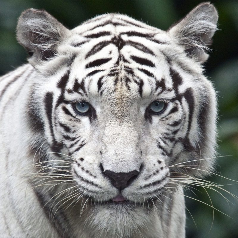 10 Latest White Tiger Hd Wallpapers 1080P FULL HD 1080p For PC Desktop 2018 free download white tiger e29da4 4k hd desktop wallpaper for 4k ultra hd tv e280a2 wide 800x800