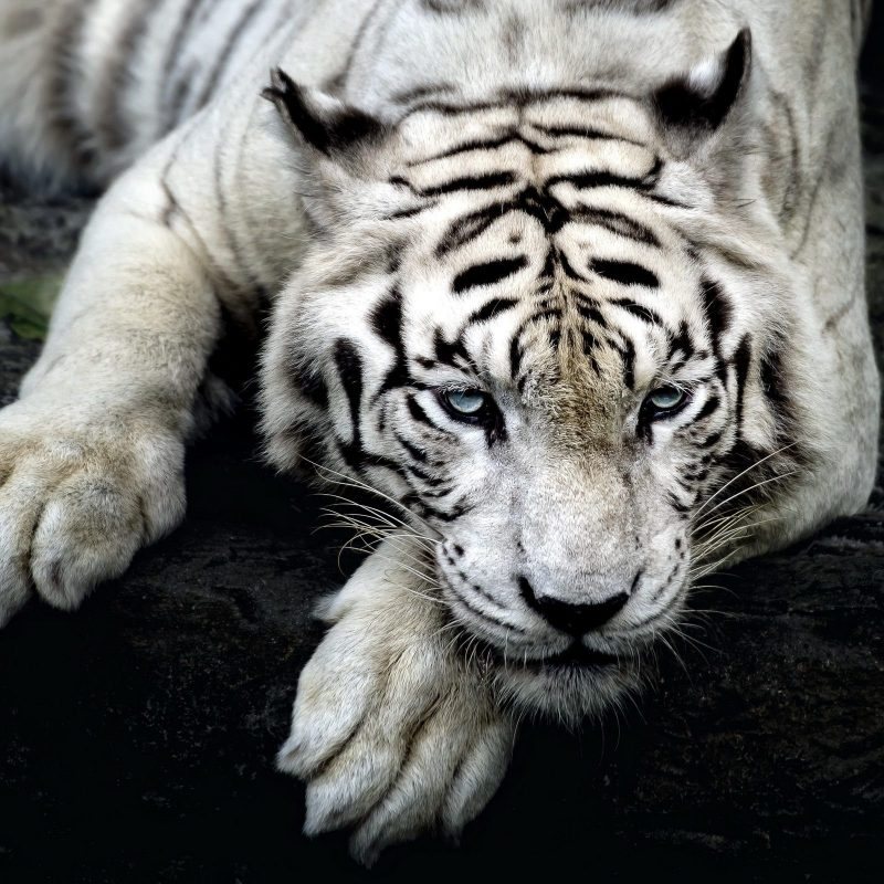 10 Latest White Tiger Hd Wallpapers 1080P FULL HD 1080p For PC Desktop 2018 free download white tiger wallpapers 1080p animals wallpapers pinterest 800x800