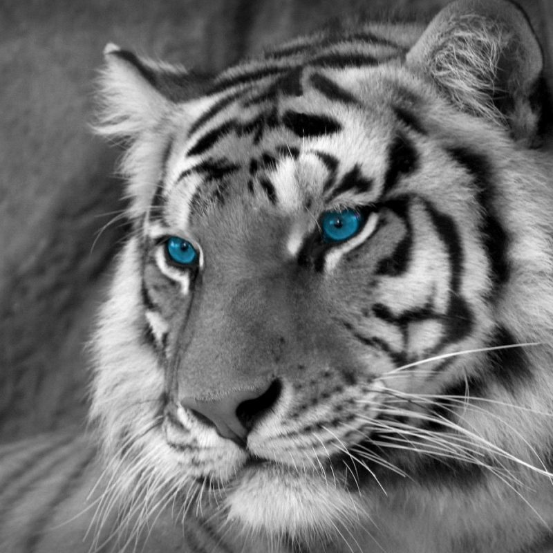 10 Latest White Tiger Hd Wallpapers 1080P FULL HD 1080p For PC Desktop 2018 free download white tiger wallpapers 49 desktop images of white tiger white 800x800