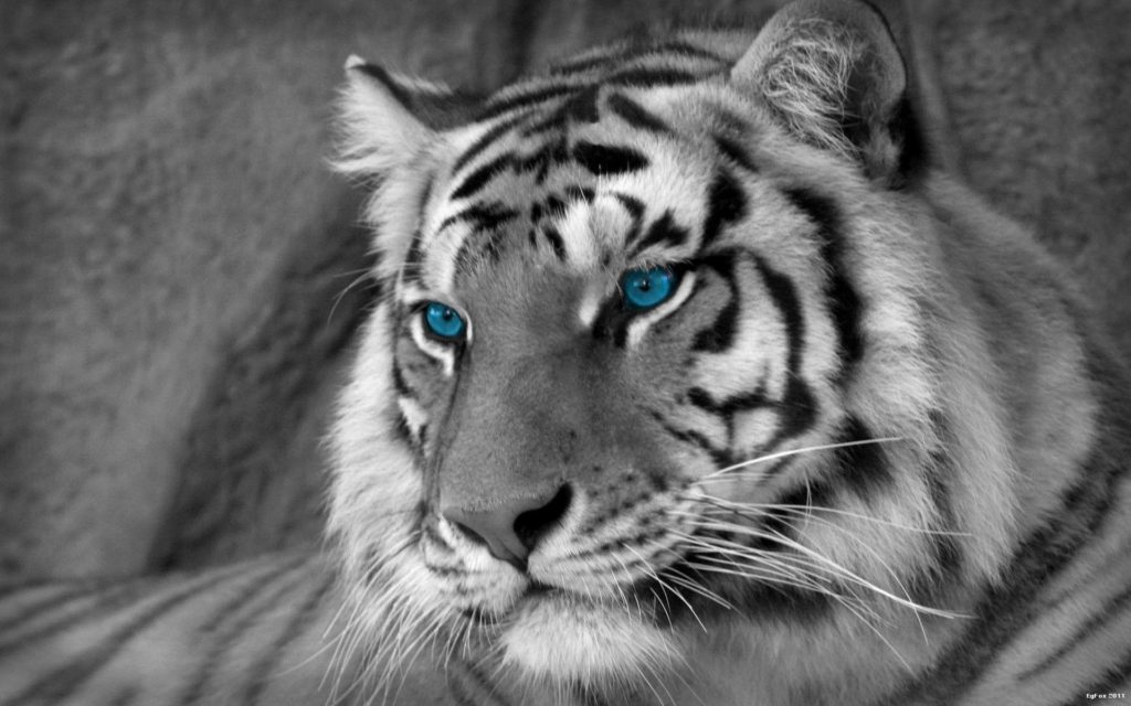 10 Top Black And White Tiger Wallpaper FULL HD 1920×1080 For PC Background 2020 free download white tiger wallpapers hd wallpaper cave 1024x640