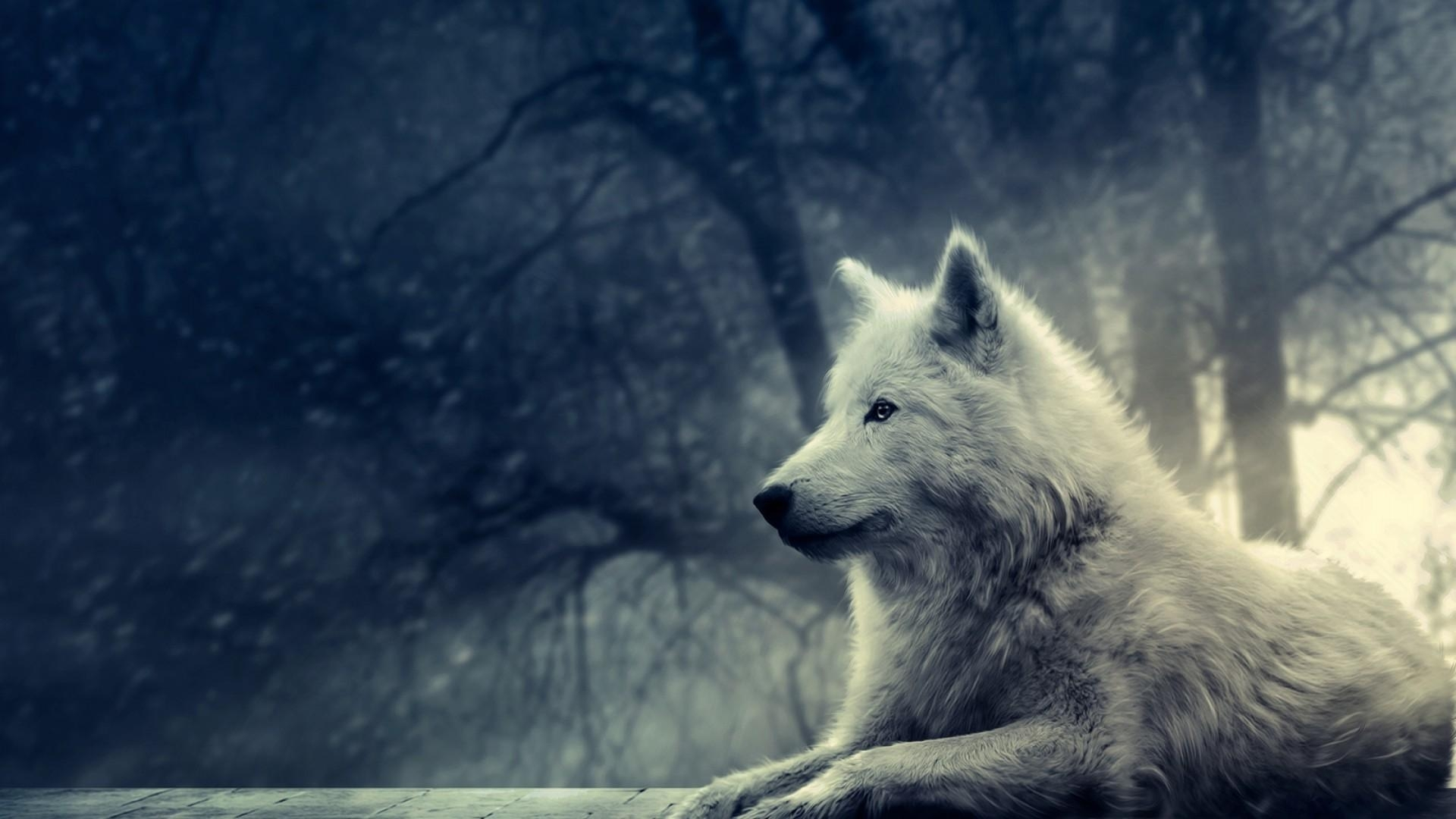 white wolf pictures hd wallpaper of animals - hdwallpaper2013