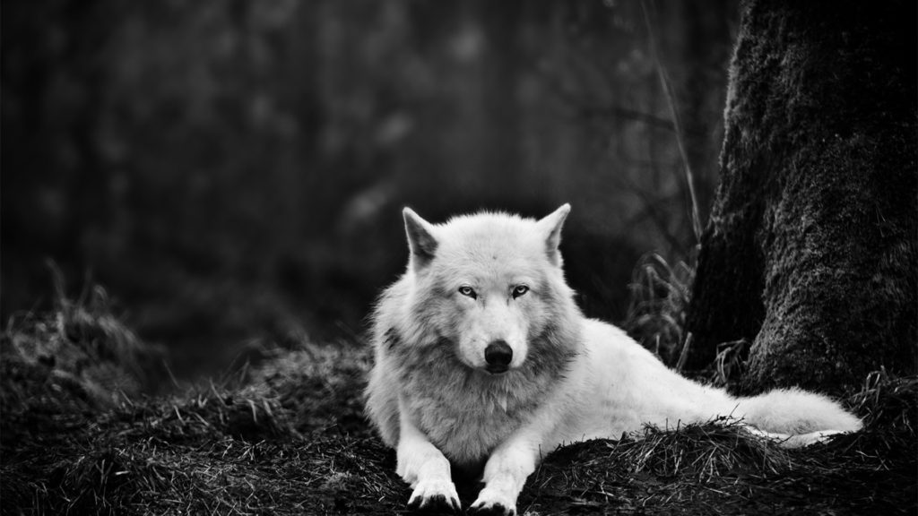 10 Most Popular Black And White Wolf Wallpaper FULL HD 1080p For PC Desktop 2018 free download white wolf wallpaper hd wallpaper wallpaperlepi 1024x576