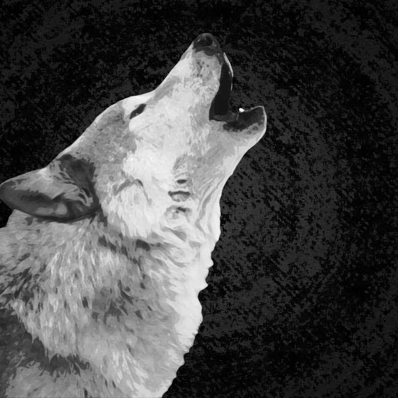 10 Most Popular Black And White Wolves Wallpaper FULL HD 1920×1080 For PC Background 2018 free download white wolf wallpaper on widescreen backgrounds high quality of 800x800