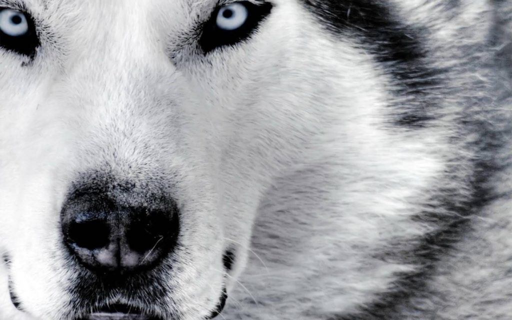 10 Most Popular Black And White Wolf Wallpaper FULL HD 1080p For PC Desktop 2018 free download white wolf wallpapers 1024x640