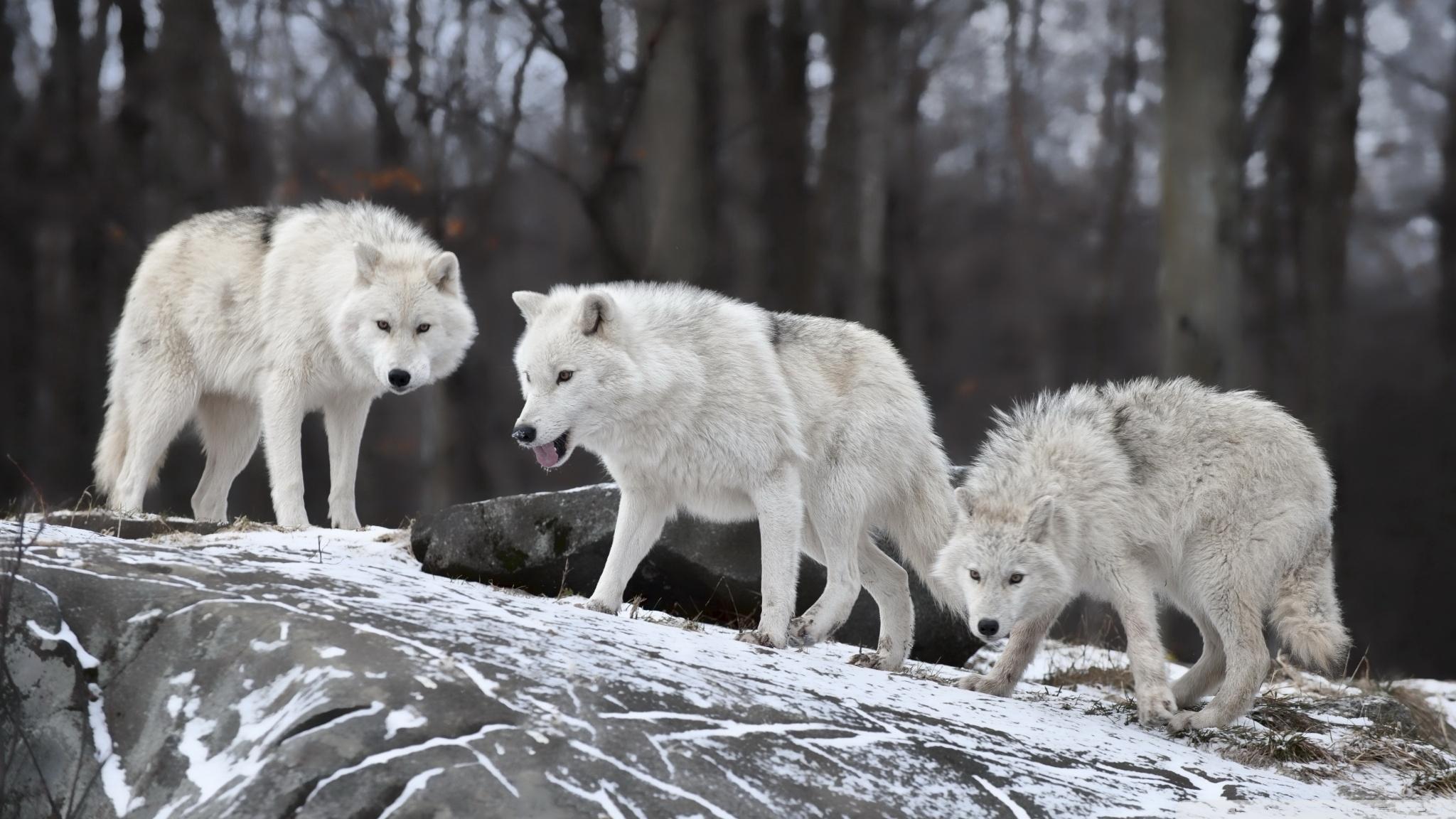 white wolves pack ❤ 4k hd desktop wallpaper for 4k ultra hd tv