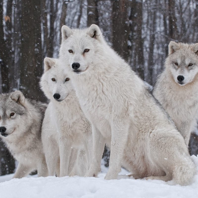 10 Best Wolf Pack Wallpaper Hd FULL HD 1080p For PC Background 2018 free download white wolves pack e29da4 4k hd desktop wallpaper for 4k ultra hd tv 800x800